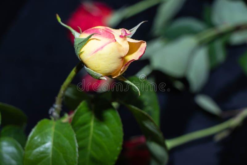 Sommar hemlagade rosor av r?d, gul rosa f?rg I knopparna och fullst?ndigt ?ppet, oskarpt och skarpt royaltyfria bilder