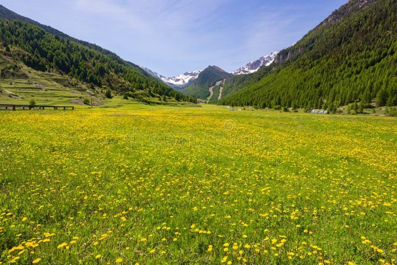Sommar i alpsna Den blommande alpina ängen och den frodiga gröna skogsmarken ställde in under bergskedja för hög höjd arkivbild