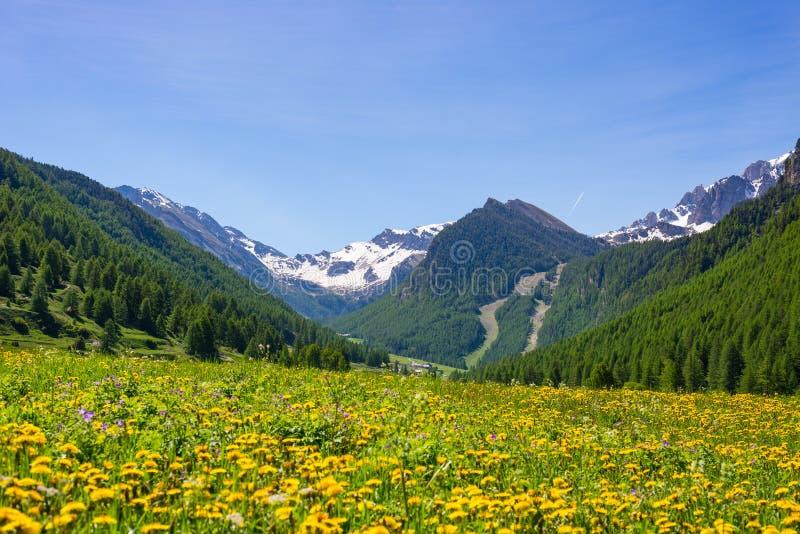Sommar i alpsna Den blommande alpina ängen och den frodiga gröna skogsmarken ställde in under bergskedja för hög höjd royaltyfria bilder