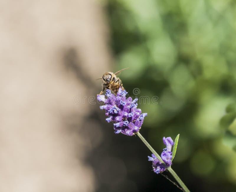 Sommar i London, England, UK - violett blomma och ett bi fotografering för bildbyråer