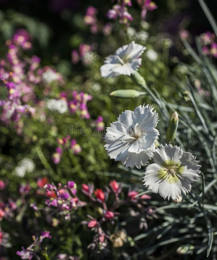 Sommar i London, England - vita blommor i parkerar fotografering för bildbyråer