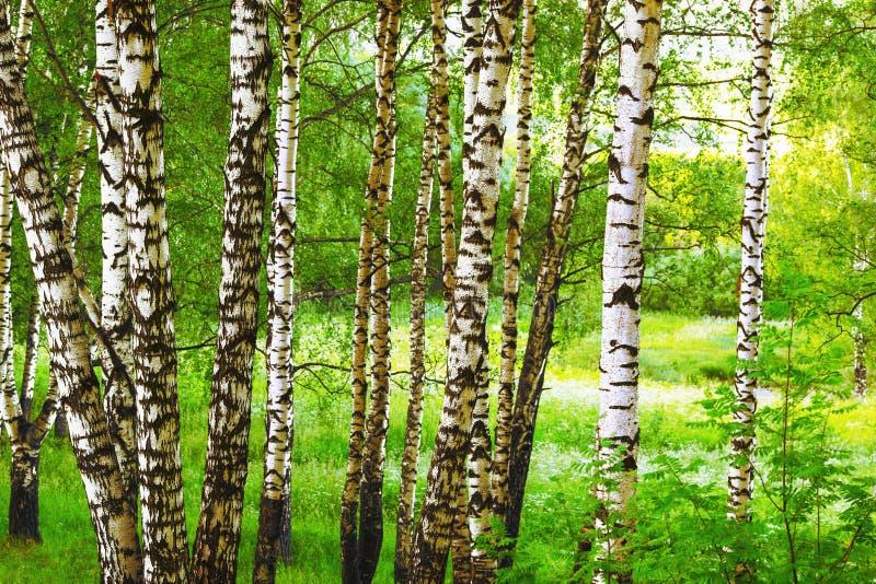 Sommar i solig björkskog royaltyfri foto