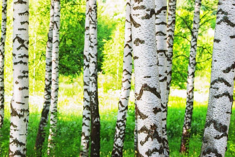 Sommar i solig björkskog arkivfoto