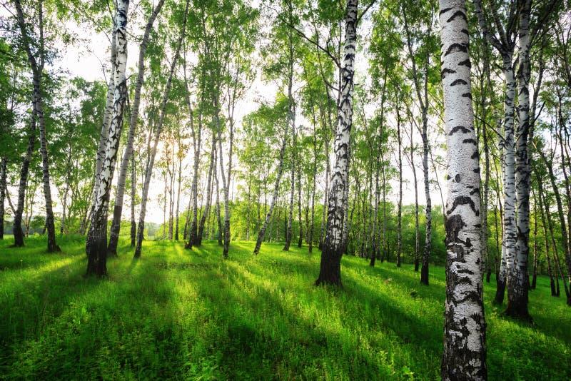 Sommar i solig björkskog arkivbilder