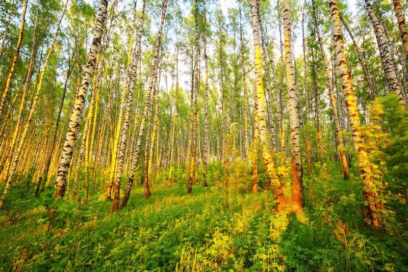 Sommar i solig björkskog royaltyfria bilder