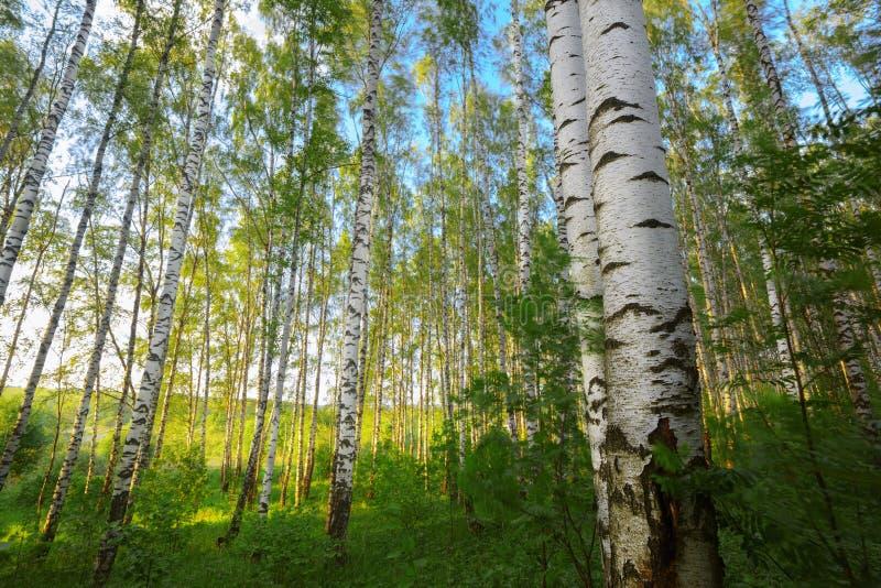 Sommar i solig björkskog royaltyfri bild