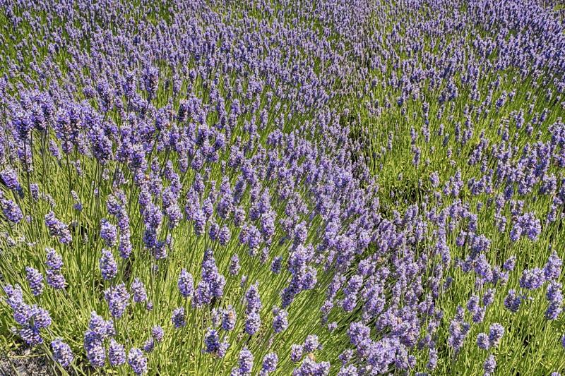 Sommar Lavender-festival royaltyfri bild