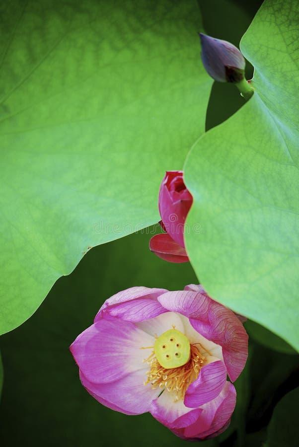 Sommar Lotus Flower i Kina royaltyfria foton