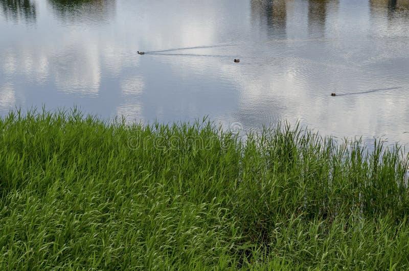 Sommar med den gröna nya vassen, den communis phragmitesen eller rusar, och ankan, den kvinnliga gräsandet duckar simning i sjön, royaltyfria bilder