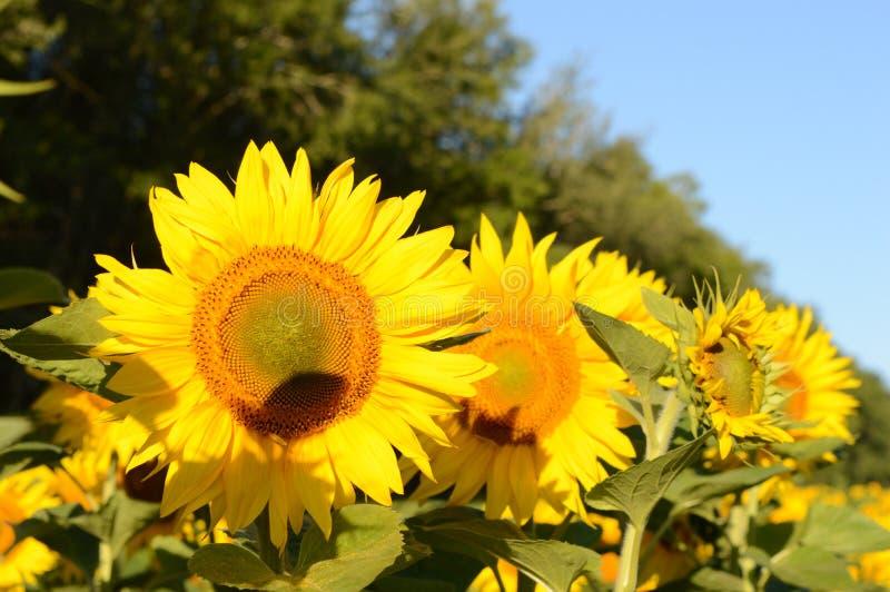 Sommar som är solig, dagen, solen, fält, växer, stort, härligt, solrosor, blommor, himmel, skogen, landskapet, lynnet som är varm arkivfoton