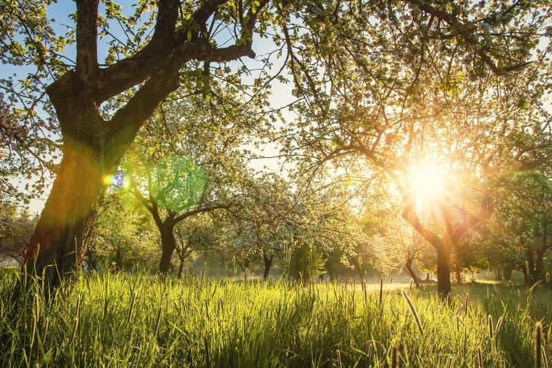Sommar som blomstrar äpplefruktträdgården på soluppgång Ljust varmt solljus i gräsplanträdgård i otta Trees i gräsplanträdgård fotografering för bildbyråer