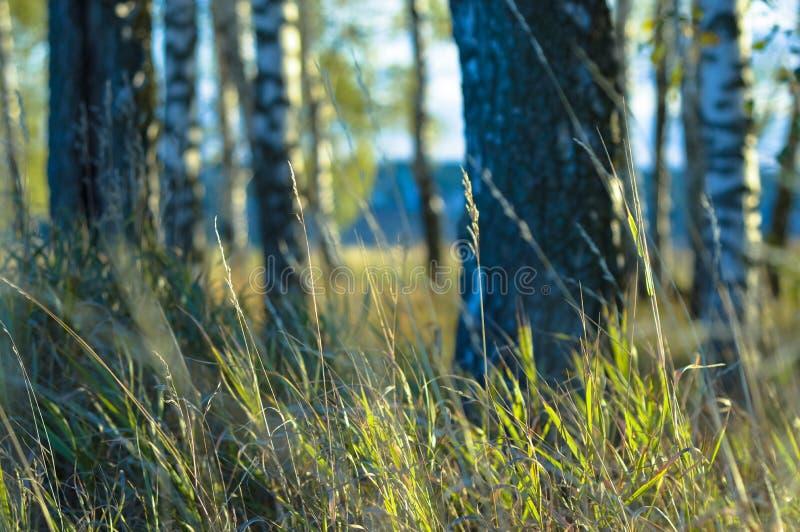 Sommarafton i en björkdunge arkivfoton