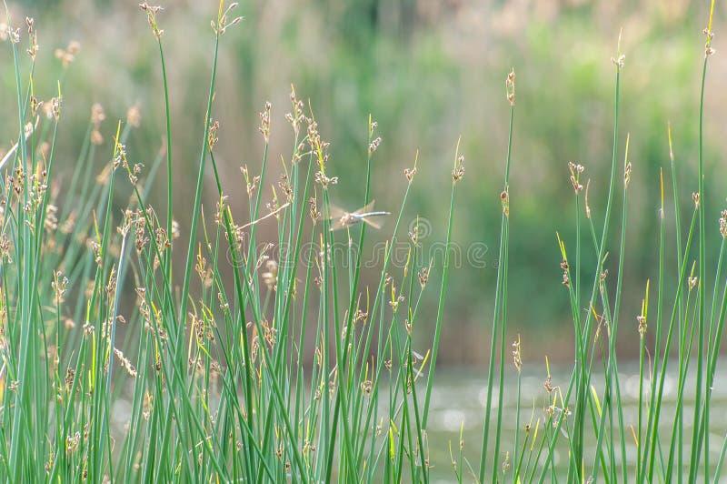 Sommarbakgrund, grönt gräs på en suddig bakgrund och slända Luddig färgrik bokeh royaltyfria foton