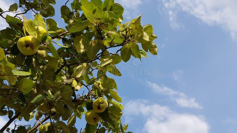 Sommarbakgrund med omogna gula äpplekvittenfrukter bland frodig grön lövverk på bakgrund för blå himmel med vita moln arkivfoto