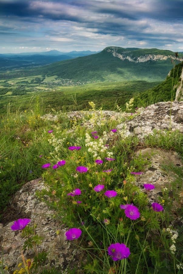 Sommarbergdal med många purpurfärgade blommor royaltyfri foto
