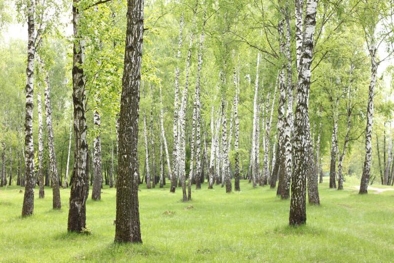 Sommarbjörkträd i skogen, härlig björkdunge, björk-trä arkivbilder