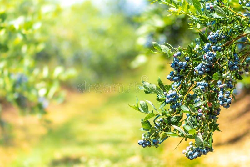 Sommarblåbär ordnar till för att väljas arkivfoton