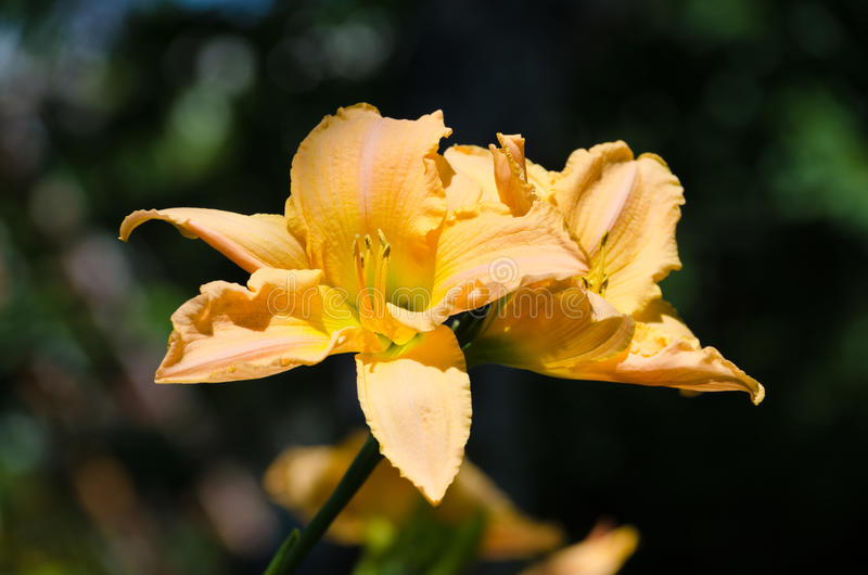 Sommarblomning av den nya apelsinen lilly royaltyfria bilder