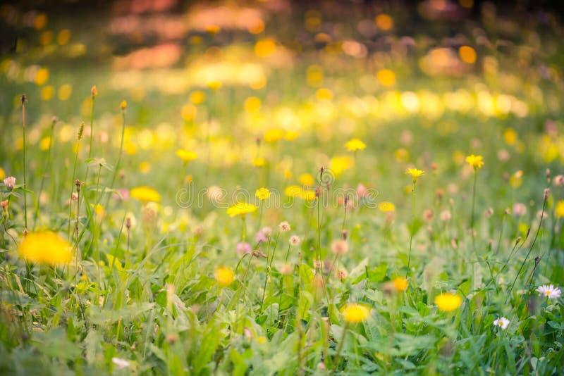 Sommarcloseup av den gulingblommor och ängen ljus liggande Inspirerande naturbanerbakgrund royaltyfria foton