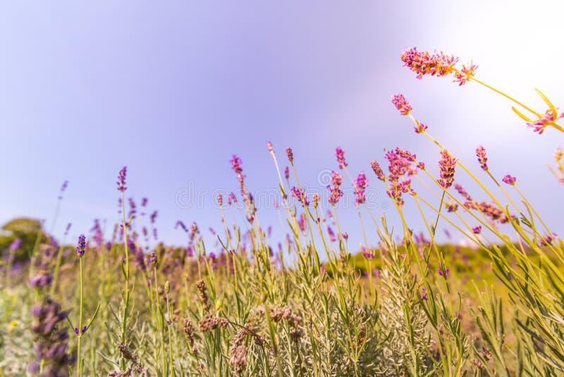 Sommarcloseupblommor och äng ljus liggande Inspirerande naturbanerbakgrund fotografering för bildbyråer