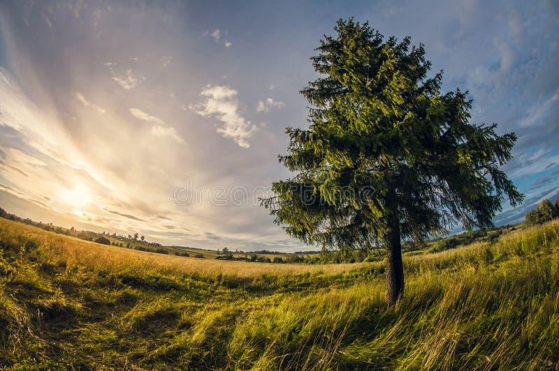SOMMAREN landskap gran i fältet på solnedgången, sikt för lins för distorsionsperspektivfisheye royaltyfri fotografi