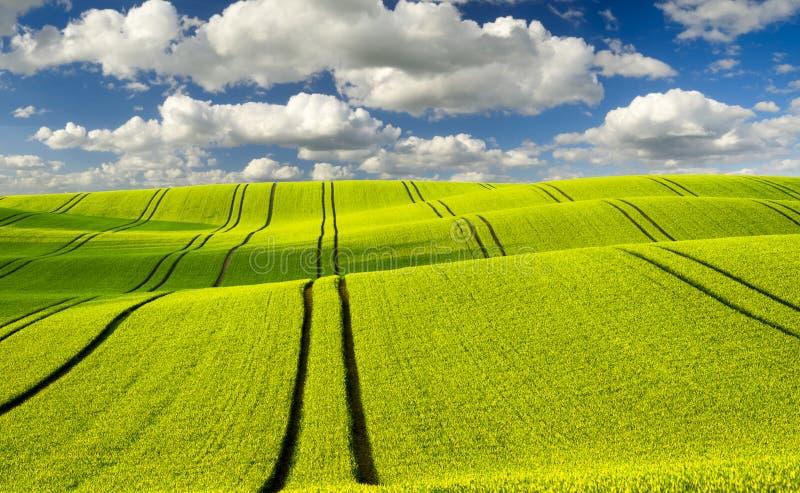 Sommarfält, mognande fält för kornskörd arkivbild