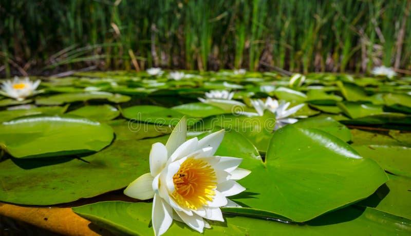 Sommarflodscen, städa vita liljor royaltyfria bilder
