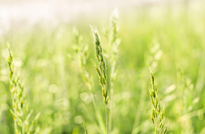 Sommargräs i solen royaltyfria bilder