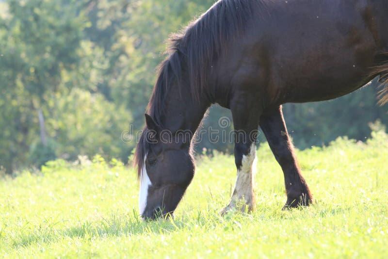 Sommarhäst som betar i en äng arkivfoton