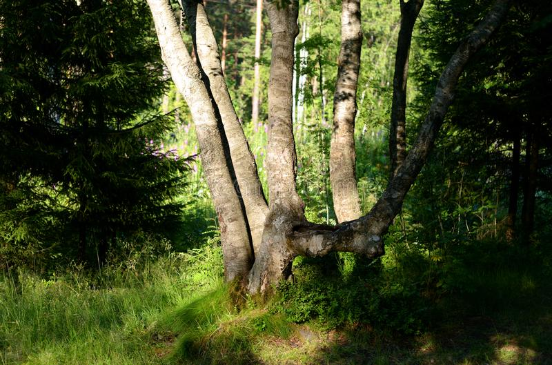 Sommarlandskap i skog royaltyfri foto