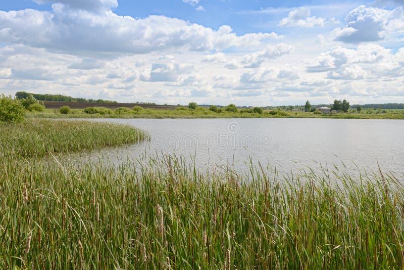 Sommarlandskap med den bevuxna vasssjön, fält, skogar royaltyfria bilder