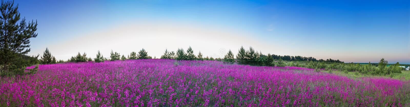 Sommarlandskap med den blomstra ängen, soluppgång royaltyfri foto