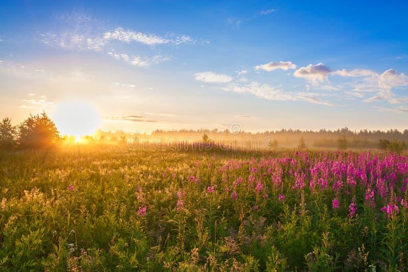 Sommarlandskap med soluppgången, en blomstra äng och dimma royaltyfri foto