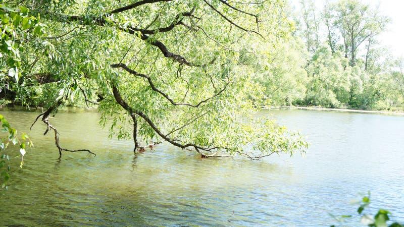 Sommarlandskap, träd på kusten av dammet arkivfoto