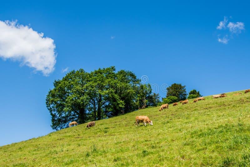 Sommarlandskapet med kon som betar på det nya gröna berget, betar arkivfoton