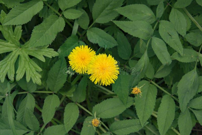 Sommarlandskapet, parkerar, gula fluffiga maskrosor bland tjockt saftigt gr?s royaltyfria bilder