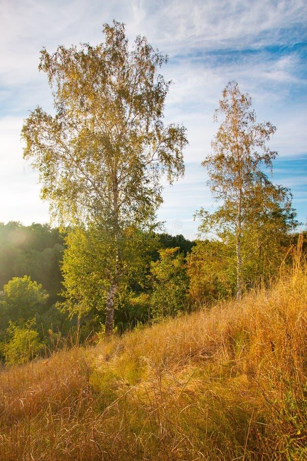 Sommarlandskapsolnedgång med guld- gräs och björkar arkivfoton