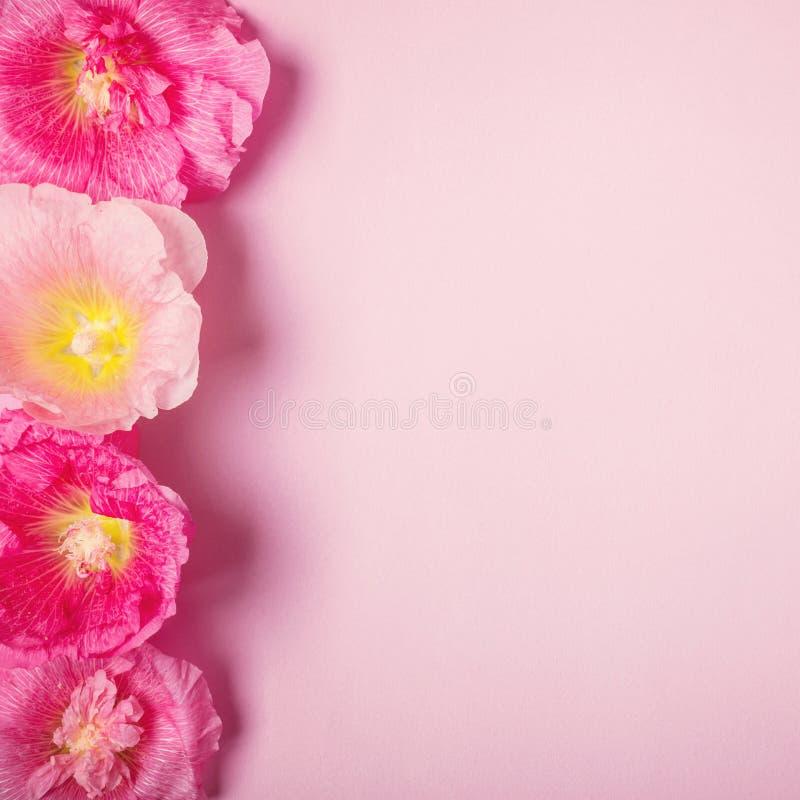 Sommarmalvan blommar rosa bakgrund Minimalismskönhetferie royaltyfria bilder