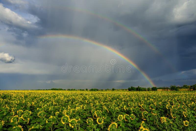 Sommarregnbåge över solrosfält royaltyfri bild