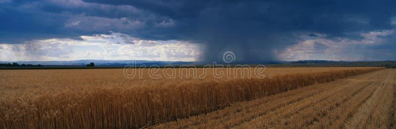 sommarregnstorm över ett vetefält royaltyfri foto