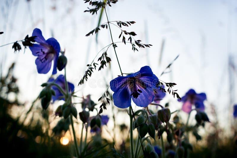 Sommarresningsol och de purpurfärgade blommorna av ängpelargonclos arkivbilder