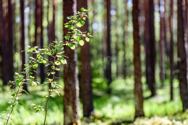 Sommarskogträd Gröna wood solljusbakgrunder för natur royaltyfri fotografi