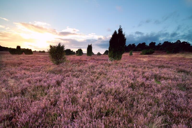 Sommarsolnedgång över rosa blommande heathland royaltyfri fotografi