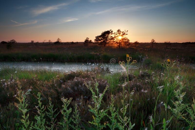 Sommarsolnedgång över vildblommor på träsk royaltyfri fotografi