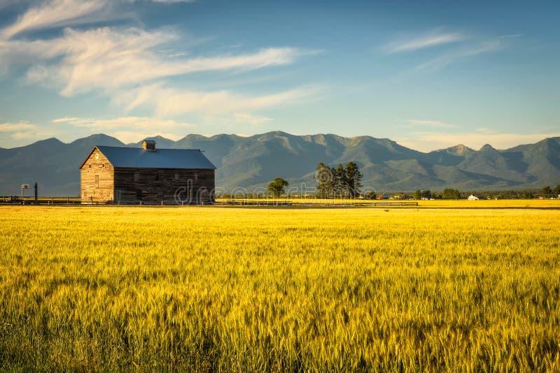 Sommarsolnedgång med en gammal ladugård och ett rågfält i lantliga Montana fotografering för bildbyråer