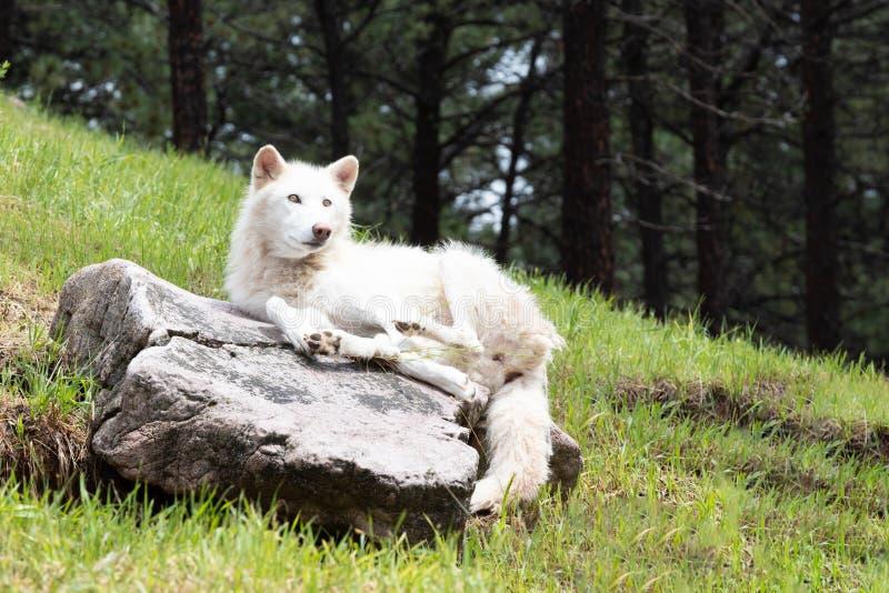 Sommarstående av en arktisk vit varg i en skog royaltyfri fotografi