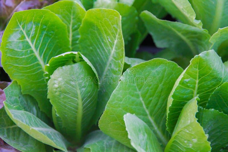 Somme choy verte dans la croissance au potager images stock