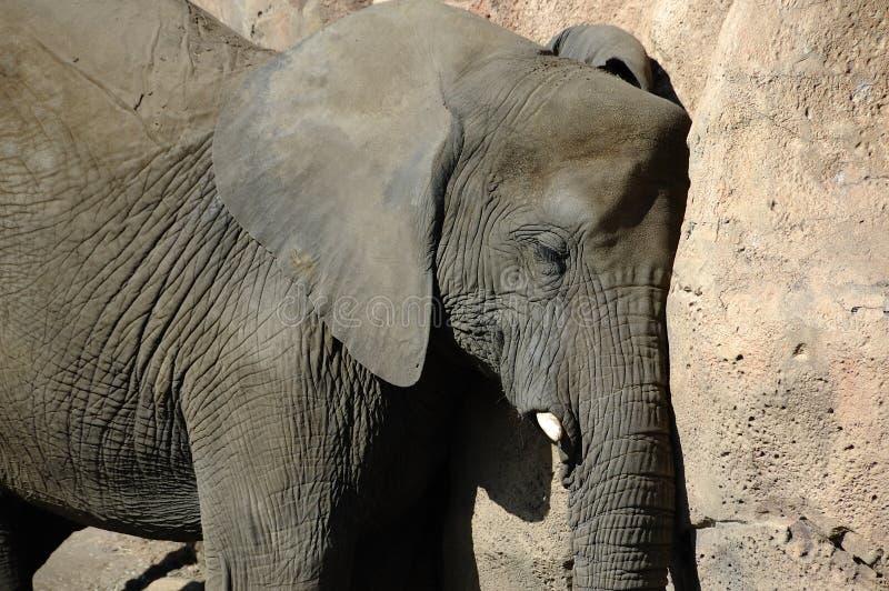 Somme quotidien d'éléphant photo stock