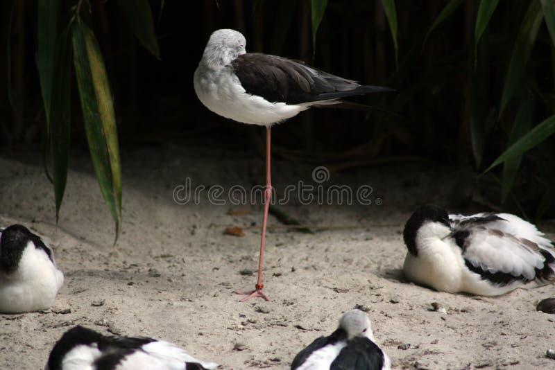 Sommeil d'oiseaux images libres de droits