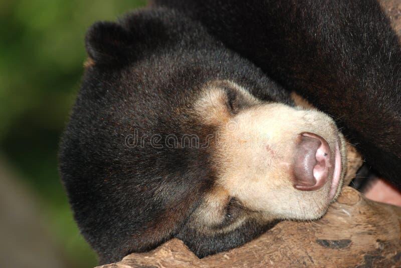 Sommeil d'ours image libre de droits